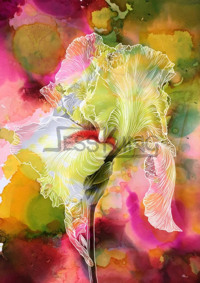 Pink Iris by Jess King Limited Edition Print