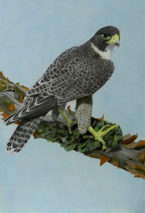 , Speed Freak – Peregrine Falcon, Manly Harbour Gallery