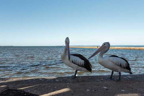 , Pelicans Wynnum A3 canvas, Manly Harbour Gallery